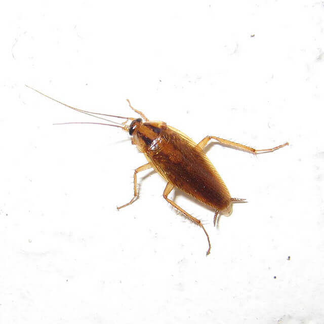 5 Types Of Roaches That Threaten Your Family's Health