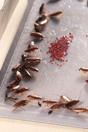 Glue traps will keep roaches trapped in one place.