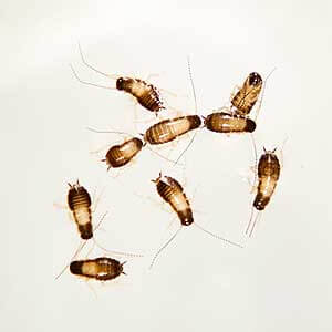 A group of german cockroach nymphs.