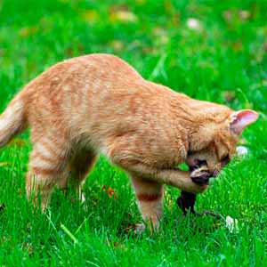 cats, a natural mouse repellent
