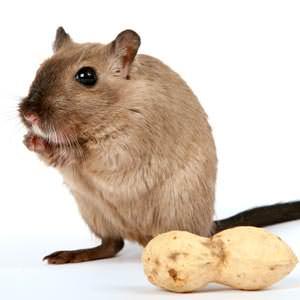 peanuts mouse trap bait