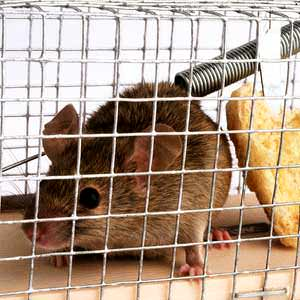 mice caught in humane mouse trap