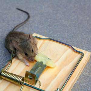 Mouse traps are a classic solution that has worked since they were first introduced and will continue to work for a long time.